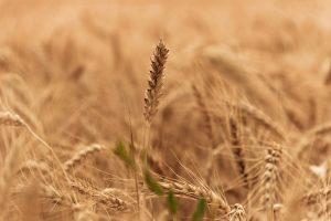 wheat-field-1205606